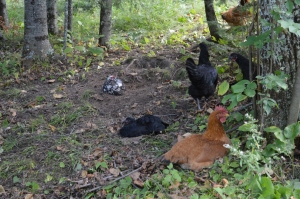 The girls taking a dust bath in the woods